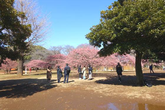 河津桜 代々木公園