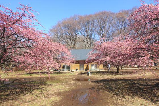 原宿 河津桜
