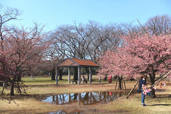 渋谷 河津桜