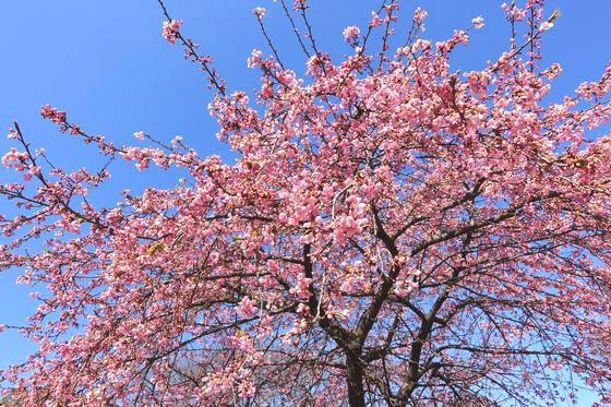 都内 河津桜