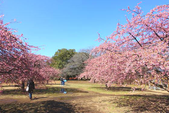 代々木公園 河津桜