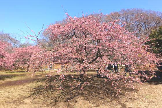 代々木 河津桜
