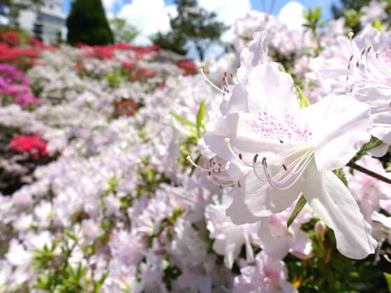 花月園 ツツジ 開花状況