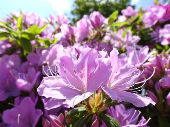 強羅公園 ツツジ 開花状況