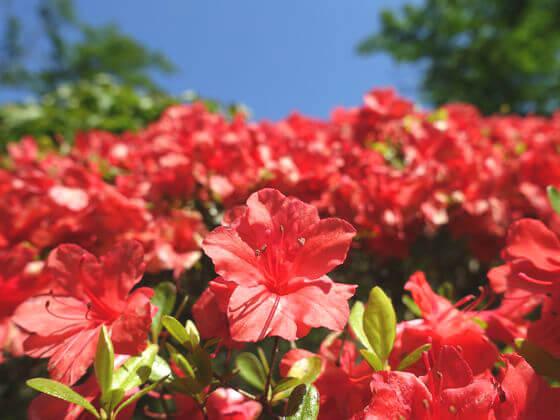 蓬莱園 ツツジ 開花状況