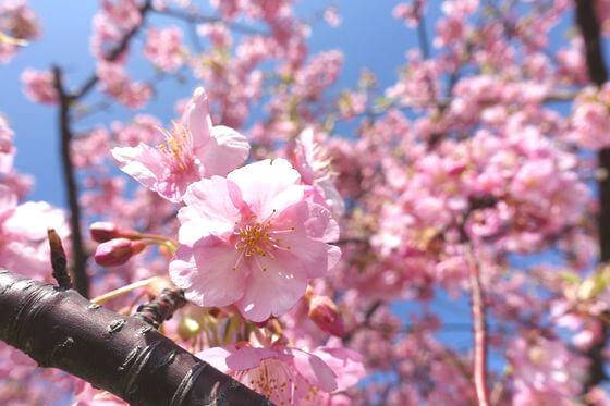 江戸川 市川 河津桜
