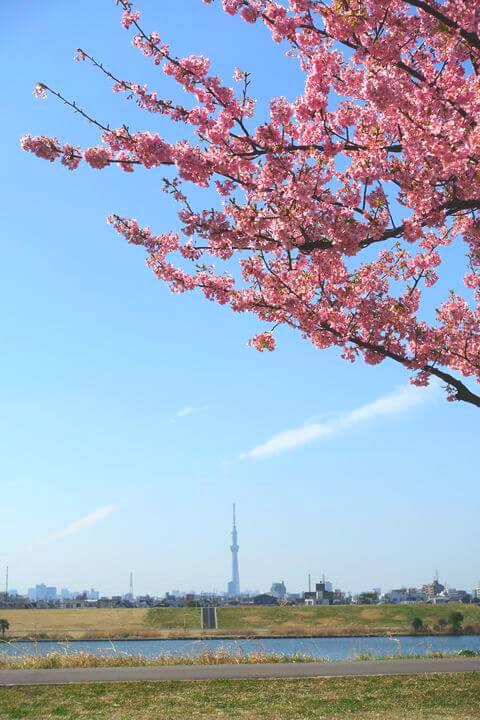 河津桜 スカイツリー