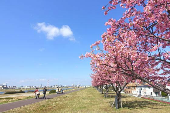 市川 河津桜