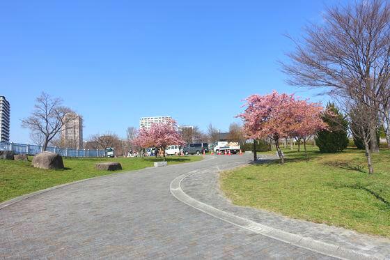 荒川区 河津桜