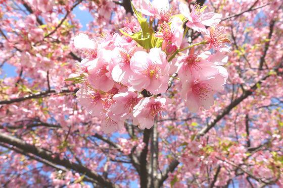 隅田川 河津桜
