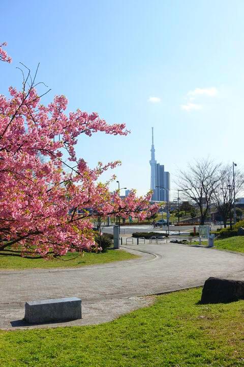 汐入公園 河津桜 スカイツリー