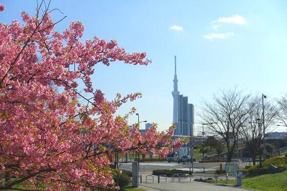 汐入公園 河津桜