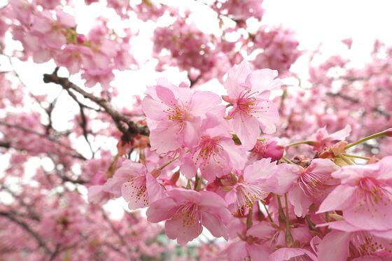 洞川 河津桜 開花状況