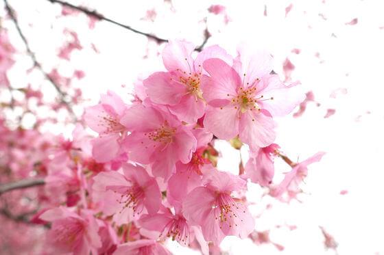 足柄 和田河原 河津桜