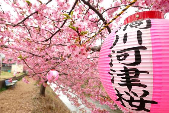 洞川 河津桜