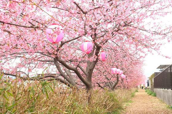 和田河原 河津桜