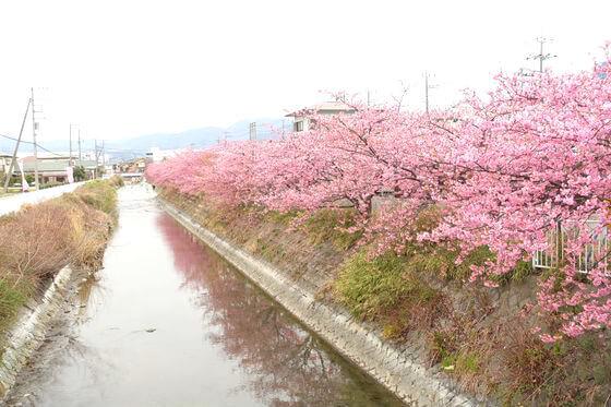 足柄 河津桜