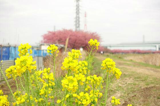 小出川 菜の花