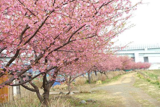 小出川 河津桜