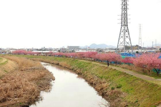 西久保橋 茅ヶ崎 河津桜