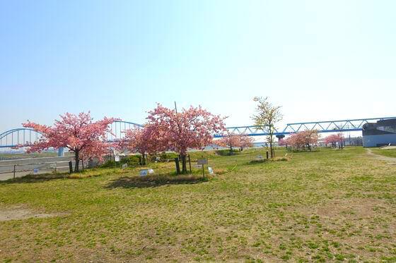 市川 妙典 河津桜