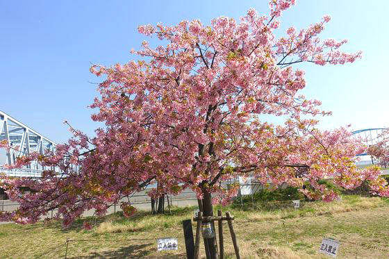 妙典 市川 河津桜