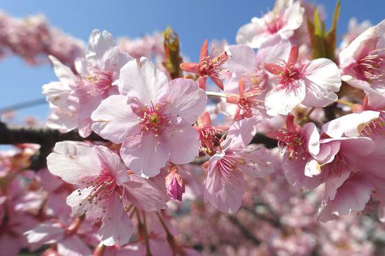 妙典 河津桜 開花状況