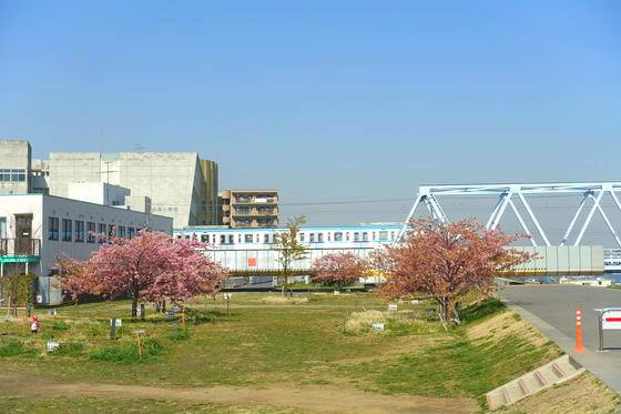 市川市 妙典 河津桜
