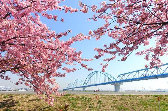 妙典 河津桜