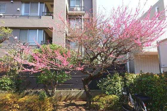 桜神宮 梅