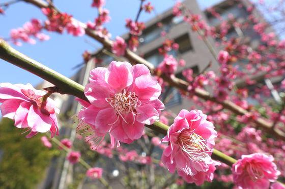 桜神宮 紅梅