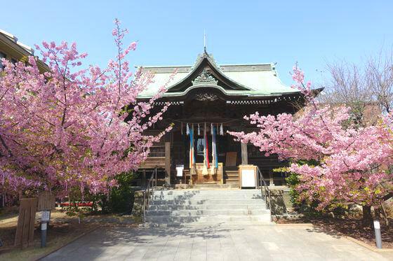 桜神宮 河津桜