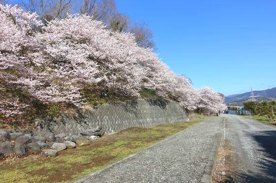 一の堰 桜