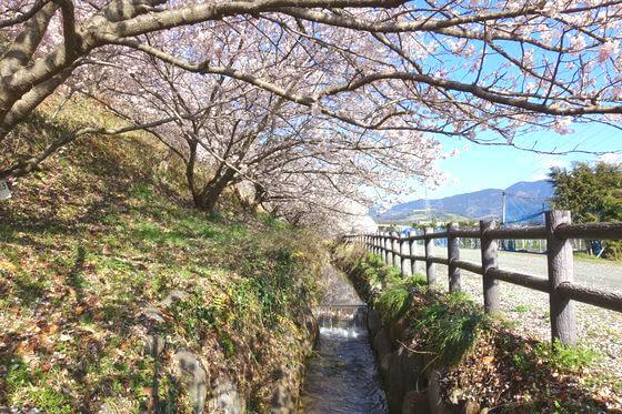 南足柄 桜
