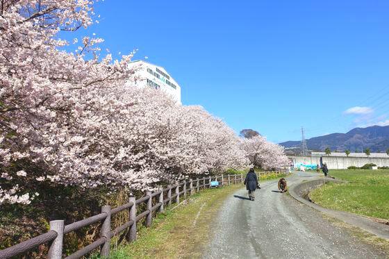 一の堰ハラネ春めき桜 見頃