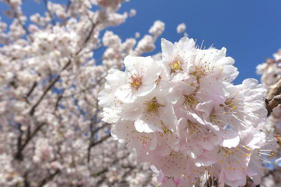 一の堰ハラネ春めき桜 開花状況
