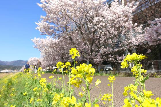 南足柄市 狩川 菜の花