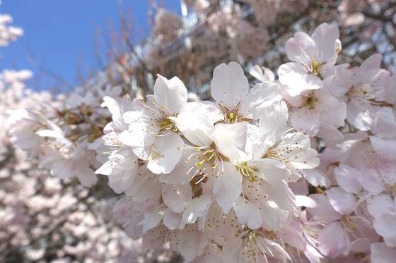 足柄市 狩川 桜