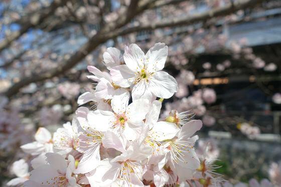 春木径 桜 開花状況