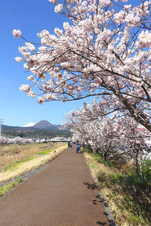 幸せ道 桜