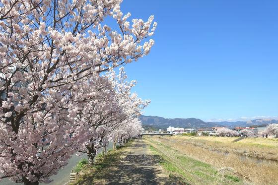 南足柄 春木径 桜