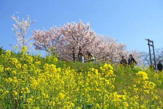春木径 桜 見頃