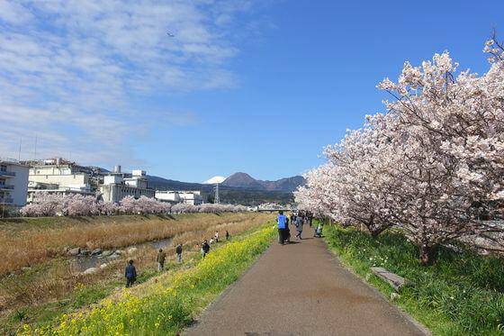 春木径 桜