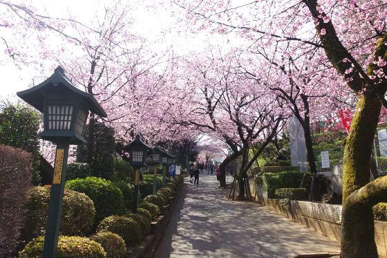 川口市 桜