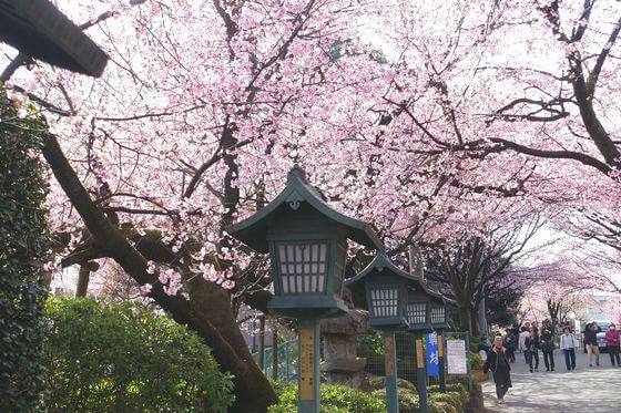 密蔵院 川口 桜