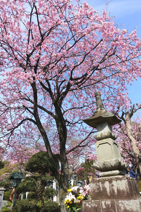 川口 安行桜