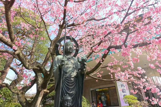 密蔵院 桜 見頃