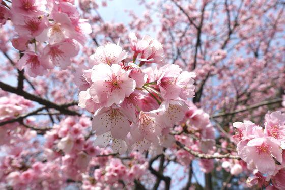 密蔵院 桜 開花状況