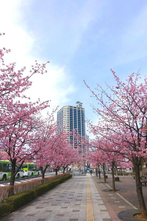 川口元郷 安行桜
