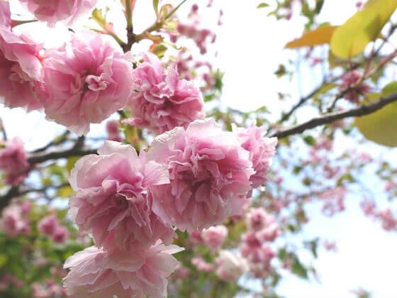 旧芝離宮恩賜庭園 里桜